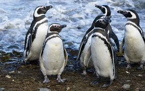 gal-pinguine